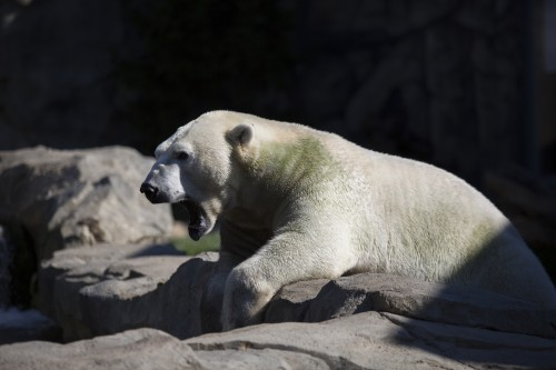 Brookfield Zoo offers a larger variety of animals, like this polar bear, but it comes with a heftier price tag and requires a trek. (Connor O'Keefe / The DePaulia)