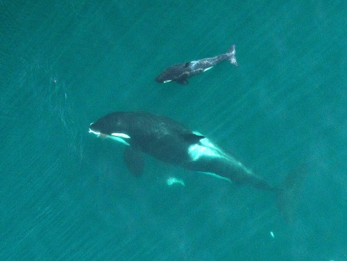 This September 2015 photo provided by NOAA Fisheries shows an adult female orca, identified as L-91, eating a salmon as her newborn calf swims near the San Juan Islands in Washington state's Puget Sound. Federal biologists flying a drone have taken thousands of rich images of endangered Puget Sound orcas, showing the whales are in good condition this year and that several appear to be pregnant. (NOAA Fisheries/Vancouver Aquarium via AP)