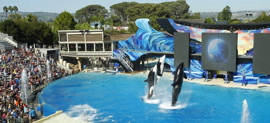 Orca whales perform during the One Ocean show at SeaWorld San Diego on Oct. 9, 2015 in San Diego. Battered by controversy over its treatment of killer whales, SeaWorld San Diego announced plans for a new attraction to boost sliding attendence numbers, and intends to phase out its killer whale show.   (K.C. Alfred/San Diego Union-Tribune/TNS)