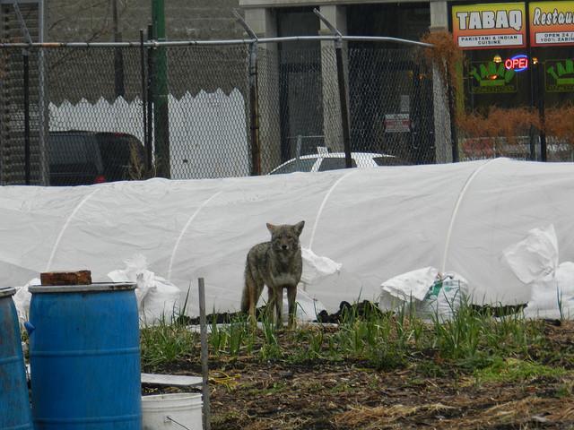 A wet coyote wanders around Chicago. (Photo courtesy of John W. Iwanski)