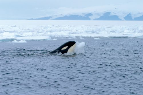 orca_with_iceball_cropped