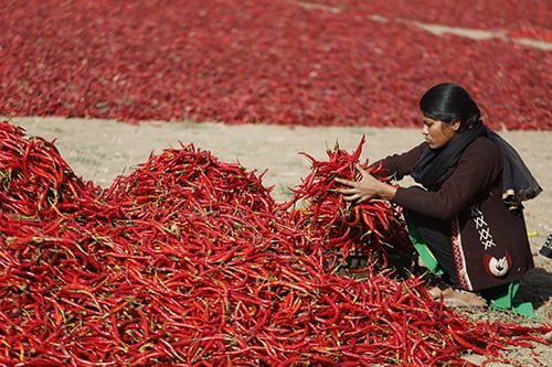 A woman sorts red chillies near Gandhinagar, India in this Feb. 25 photo.  (Ajit Solanki | AP)