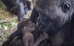 Mother's Day miracle at Chicago's Lincoln Park Zoo