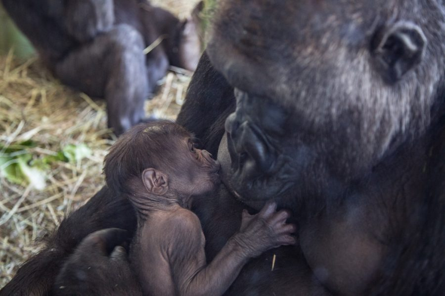 The+gorilla+infant+is+breastfed+by+its+mother%2C+Rollie.+This+is+the+first+gorilla+born+at+Lincoln+Park+Zoo+in+four+years.+The+last+one+born%2C+Bella%2C+was+mothered+by+Bahati+and+fathered+by+Kwan%2C+who+also+fathered+this+one.
