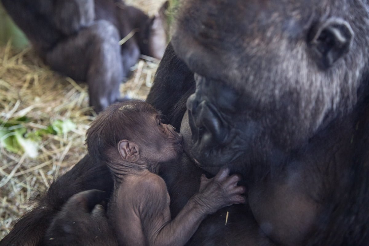 The gorilla infant is breastfed by its mother, Rollie. This is the first gorilla born at Lincoln Park Zoo in four years. The last one born, Bella, was mothered by Bahati and fathered by Kwan, who also fathered this one.