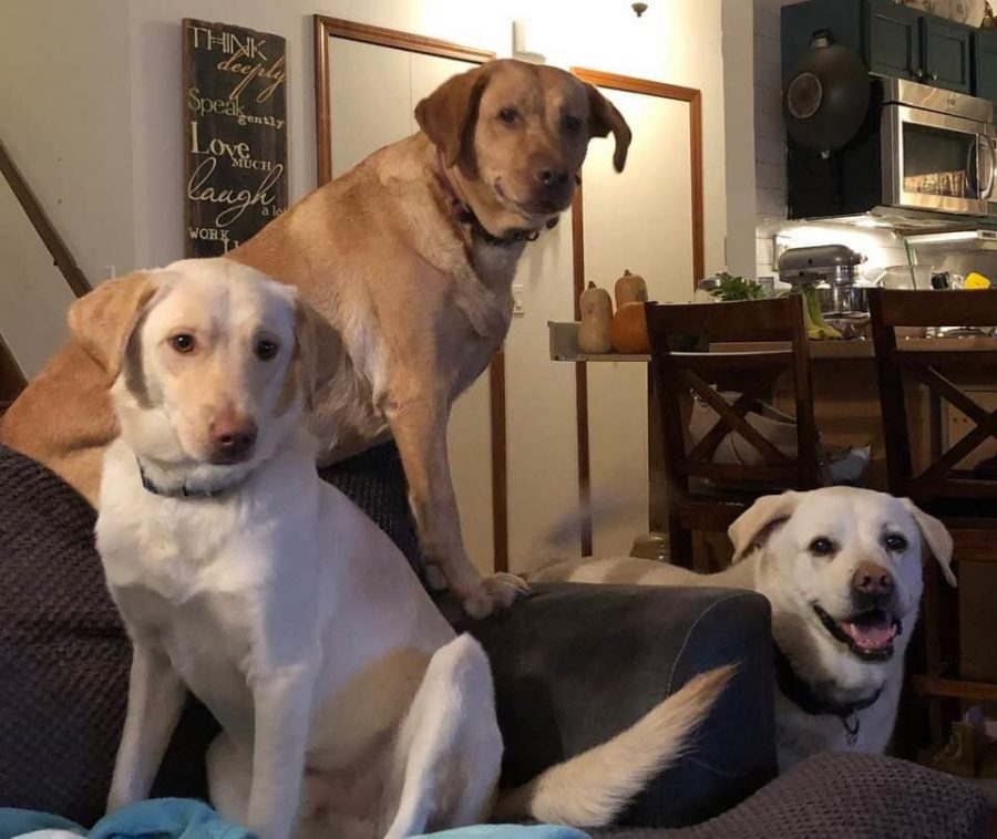 Three of the 50 dogs that Eryn Fleener and her family have fostered.